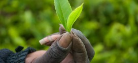 Kenya's Tea Industry Compromised By Labour Cost Infalation