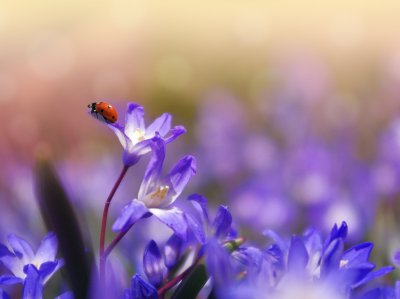 Ladybug on Purple Flower Wallpaper - Mobile & Desktop Background