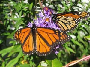 garden, butterflies, learn, grammieknows