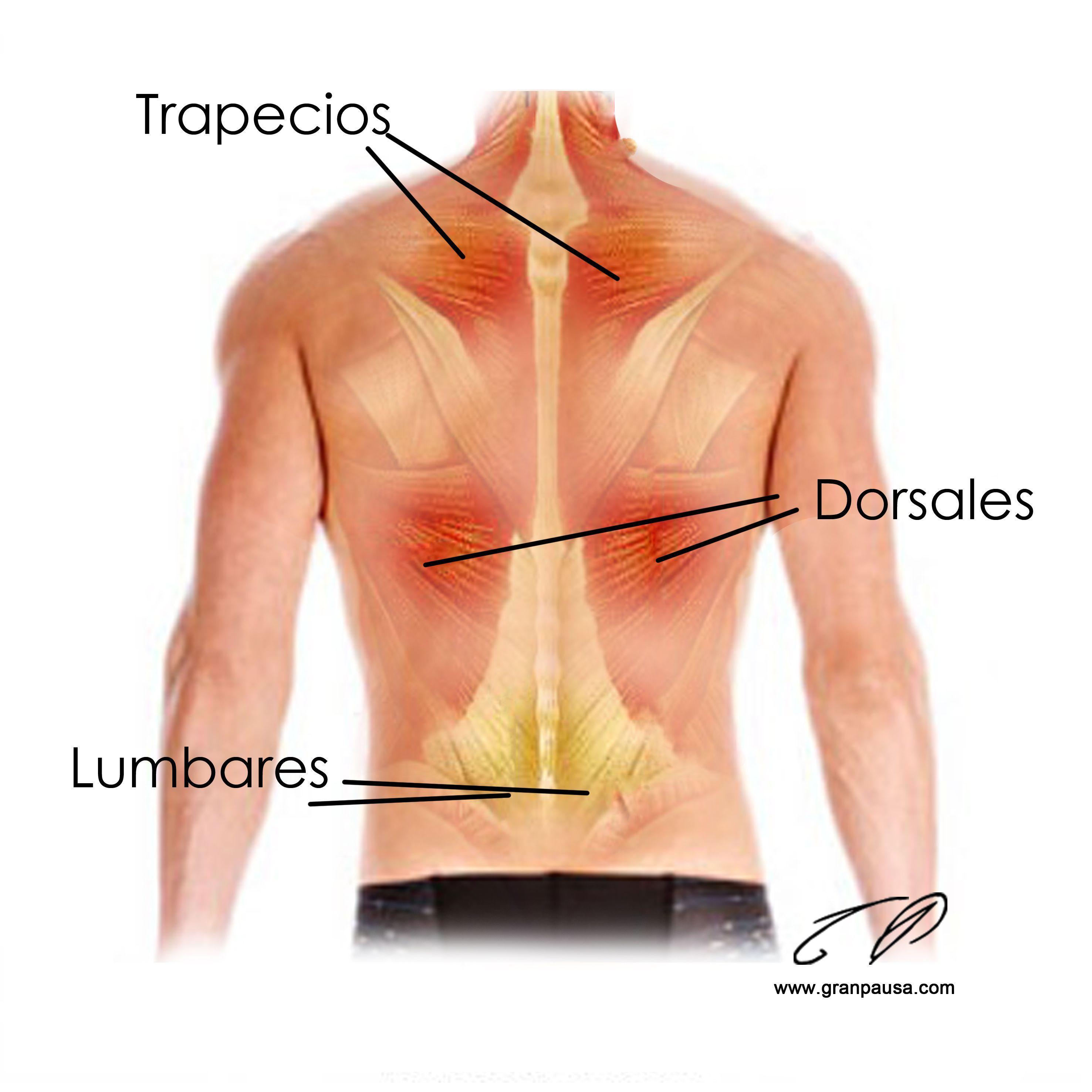 Asombroso Diagrama De Marcado De Músculos De La Espalda Imágenes ...