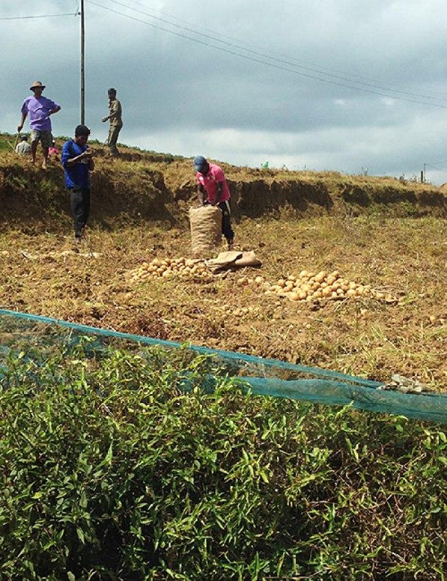 Potato harvesting, on the way to Horton Plains from Nurwaraeliya
