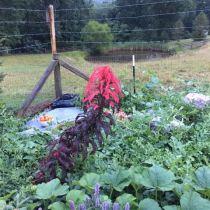 Sheet Mulch Perennial Garden Update