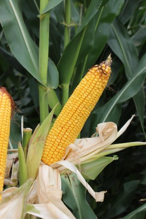 Great Heart Seed corn