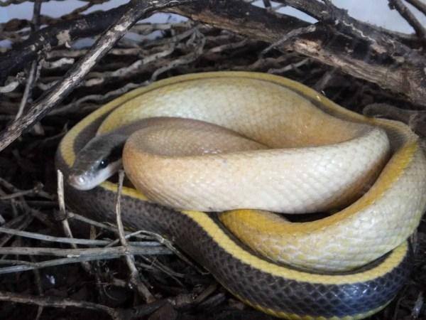 Beauty Snake