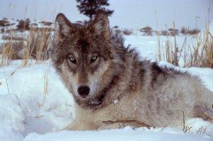 Yellowstone-wolf-wikicommons