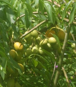 Azadirachta indica_fruit