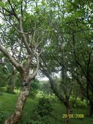 Plumeria-Tree