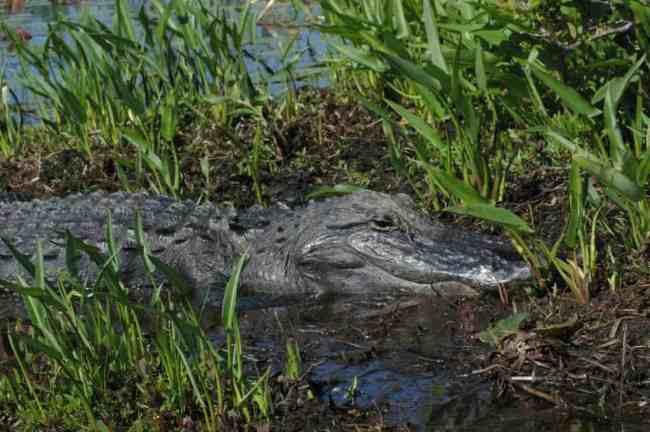 Alligator in Okefenokee National Park