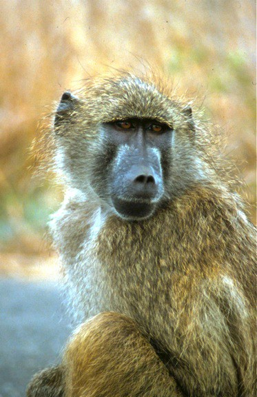 baboon-south-africa-Kruger-National-Park