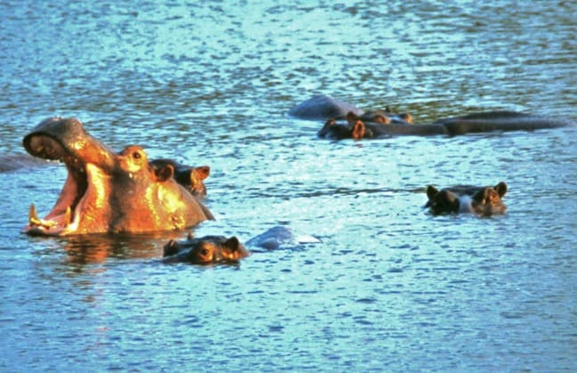 Hippos in Kruger National Park, South Africa