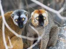 Madagascar Animals: A Mating Pair of Brown Lemurs