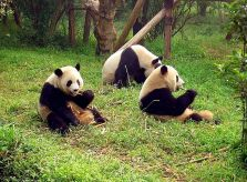 Things to do in China for Nature Lovers- Panda Sanctuaries
