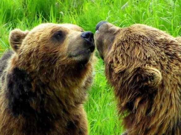 Alaska Wildlife Conservation Center Grizzly Bears