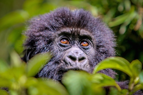 Baby Gorilla in Volcanos National Park, Rwanda