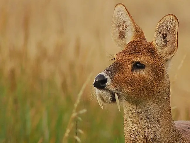 Weird Animals, Chinese Water Deer