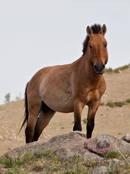 Przewalski's horse in Khustain Nuruu National Park