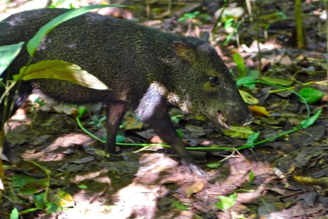 Collared Peccary in Corcovado National Park