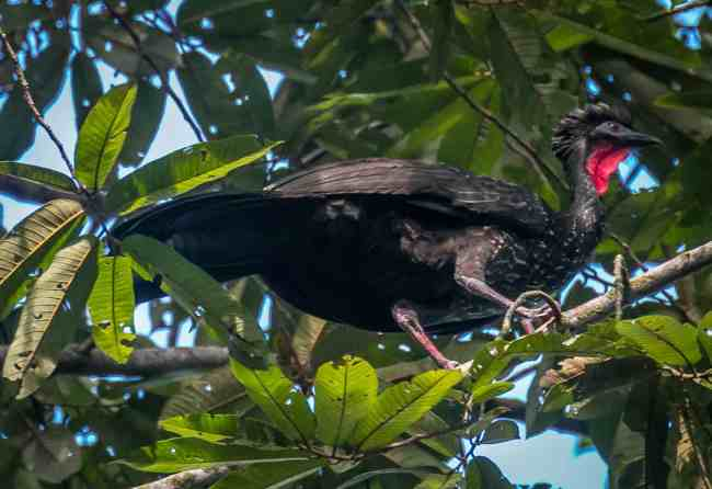 Crested Guan at Cockscomb Basin Wildlife Sanctuary, Belize
