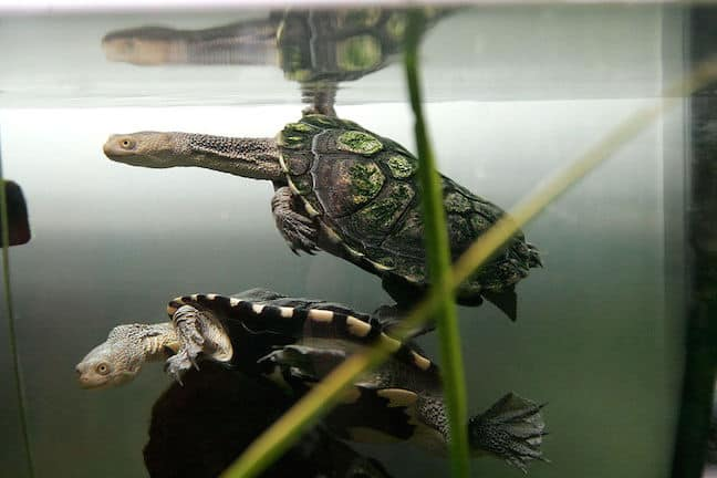Weird Animals, Eastern Long-Necked Turtle