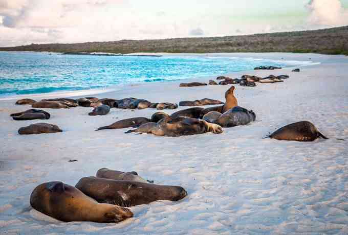 Galapagos Sea Lions Line Gardner Bay Beach on Español Island