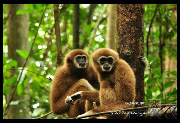The Gibbon Project photo via WARF