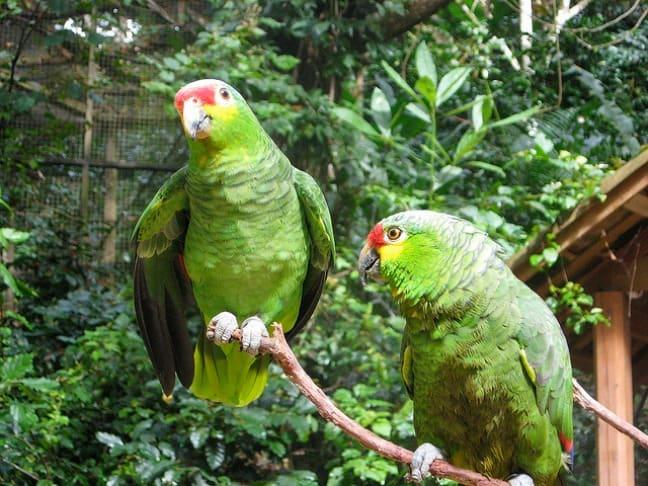 Green Amazon Parrots