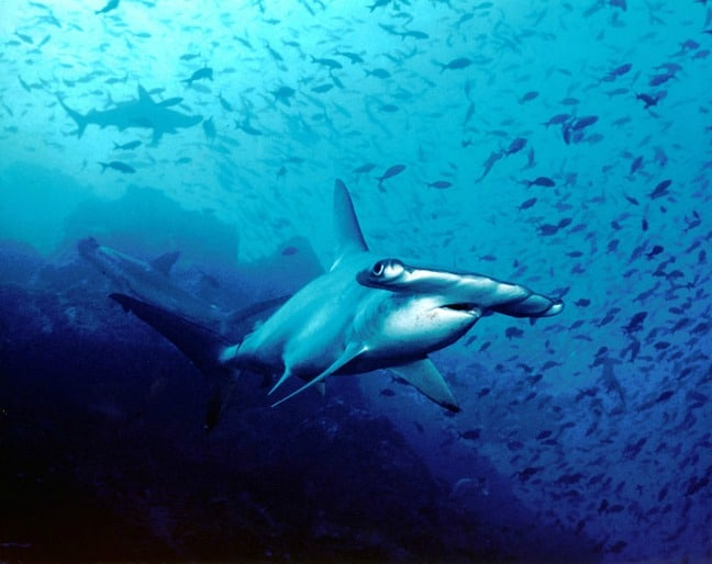 Hammerhead Shark in Cocos Island, Costa, by Dr. Ricaby Blofeld