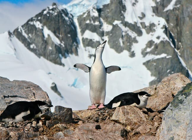 Chinstrap Penguin at Orne Harbour, Antarctica
