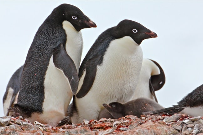 Adelie Penguin Family in Antarctica