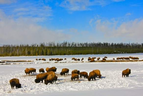 Bison Herds in Yellowstone National Park