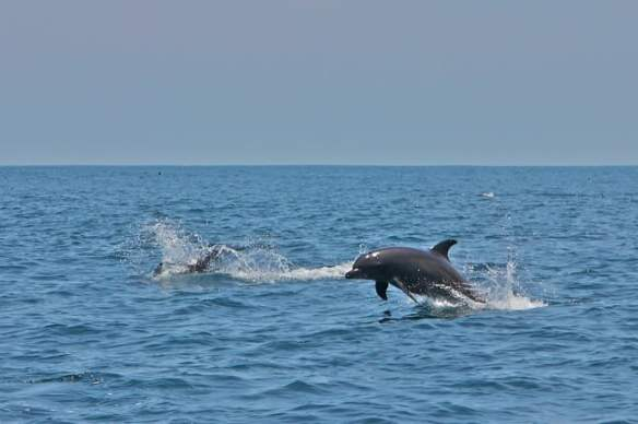 Dolphin Pod in the Gulf of Chiriquí, Panama