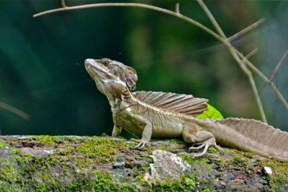 Jesus Christ Lizard in the Osa Peninsula, Costa Rica