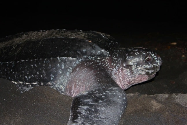Leatherback Sea Turtle, Rosalie Bay, Dominica