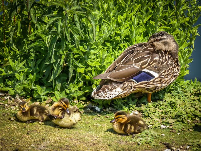 Mama Duck & Her Ducklings at London Wetlands Centre