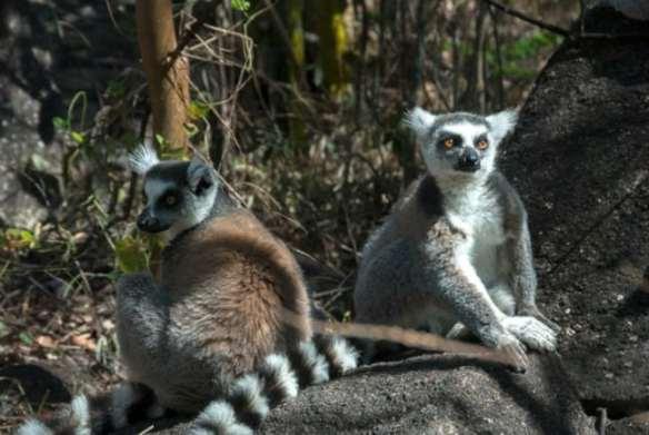 Madagascar King Julien 2 Ringtails and a Stick