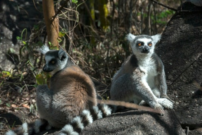 Madagascar King Julien 2 Ringtails and a Stick