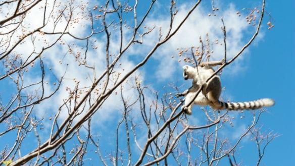 Madagascar King Julien Ringtail Tree Surfing