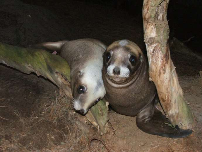 New Zealand Sea Lion pups Shaun Templeton