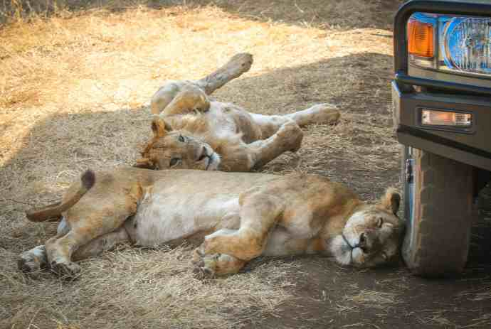 Lionesses Napping in the Ngorongoro Conservation Area