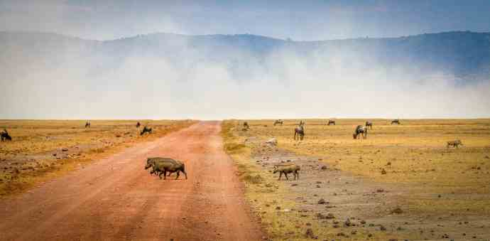 Warthog Family Crossing in Tanzania's Ngorongoro Conservation Area