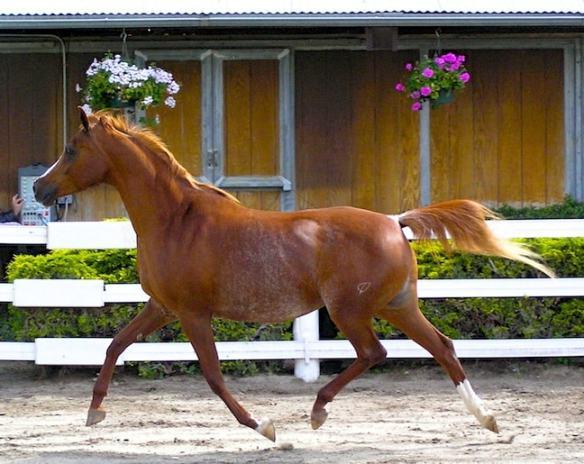 Responsible Horseback Riding Tours, Arabian Horse