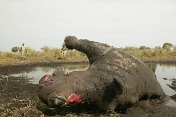 Poached Rhino Photo by Beverly Joubert