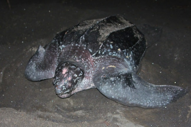 Sea Turtle Buries Nest, Dominica