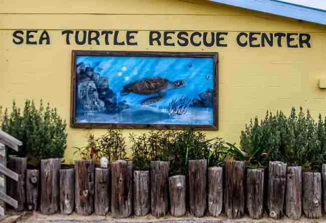 Sea Turtles in Texas Sea Turtle Inc Turtle Rescue