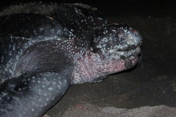 Leatherback Sea Turtle Giving Birth, Rosalie Bay Resort, Dominica