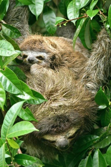 Three-Toed Sloth (Mama & baby) in Tortuguero National Park