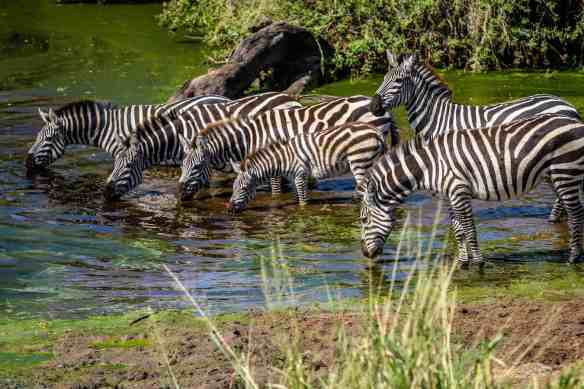Baby Zebra in Serengeti National Park, Tanzania