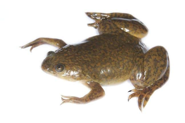 Weird Animals, Xenopus (African Clawed Frog)