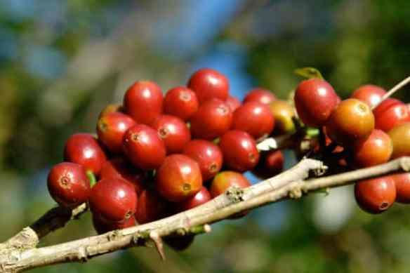 coffee berries at hacienda la esmeralda