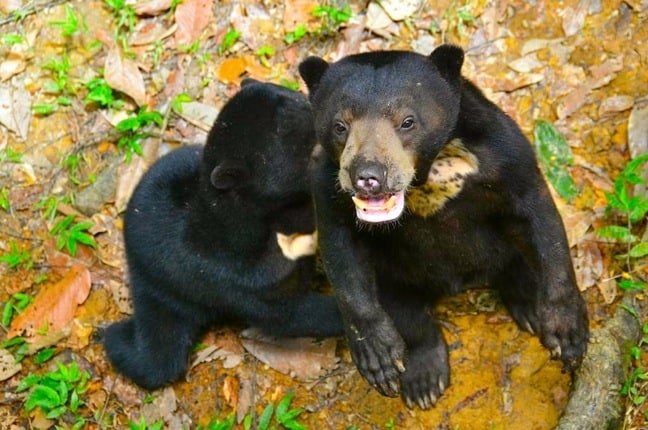 Sun Bear Cubs at the Borneo Sun Bear Conservation Centre
